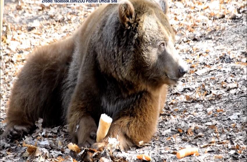 Niedźwiedź Baloo wybudził się ze snu
