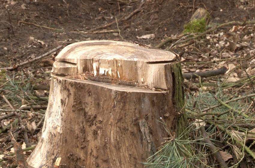 Kontrowersje wokół wycinki drzew w lasach