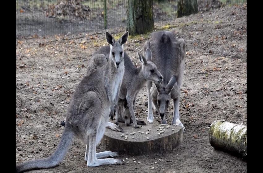 Poznańskie kangury powitały wiosnę
