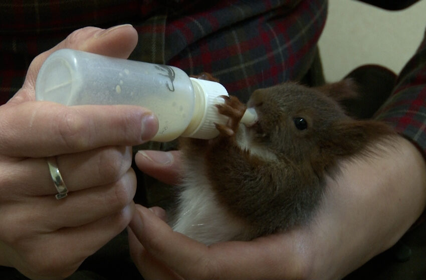 Wiewiórki oseski trafiły do Nadleśnictwa Grodziec