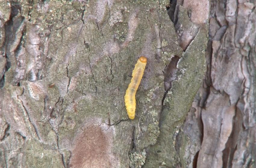 Borecznik sosnowiec atakuje wielkopolskie lasy