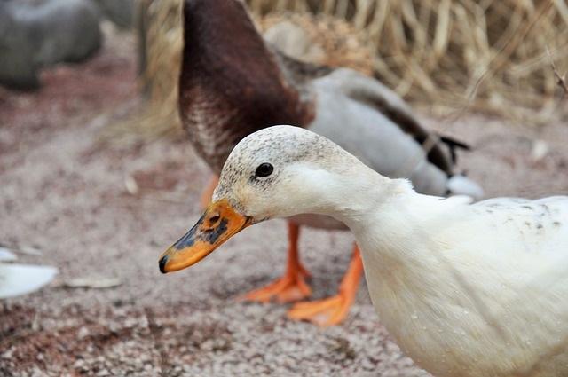Groźne ognisko ptasiej grypy w powiecie kaliskim