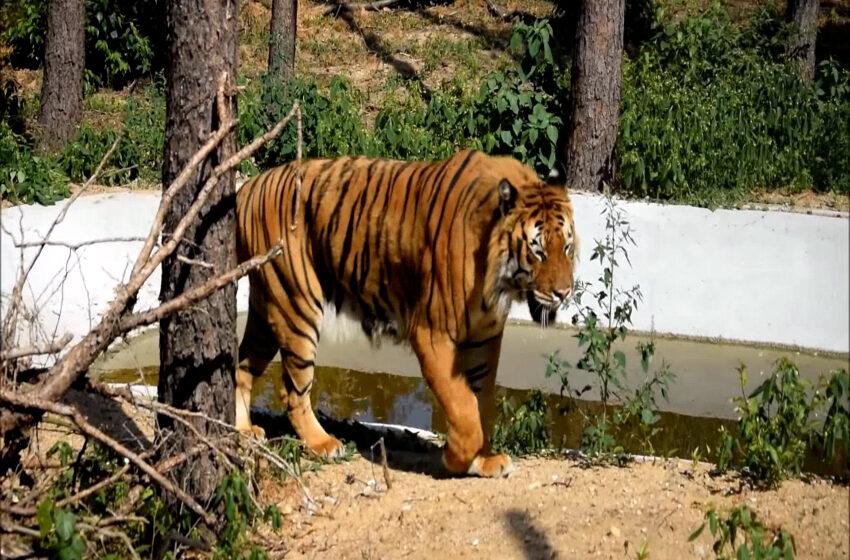 Nowy wybieg dla tygrysów w poznańskim ZOO otwarty